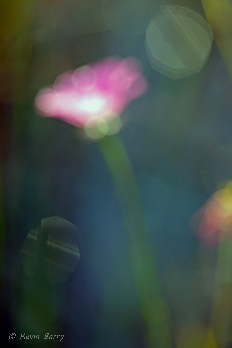 Wildflower abstract, J.W. Corbett Wildlife Management Area, Palm Beach County, Florida, nature photography, native, natural...