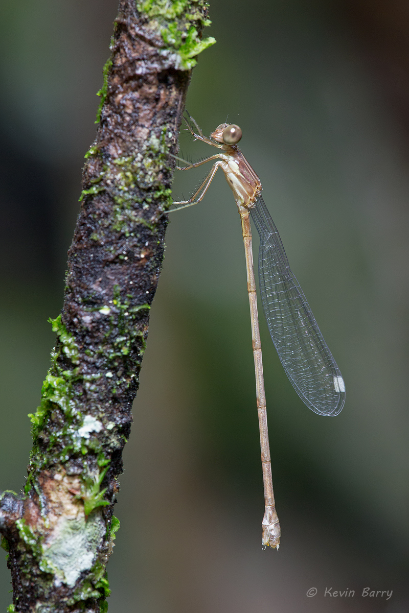 damselfly, Fakahatchee Strand Preserve State Park, Collier County, Florida, photo