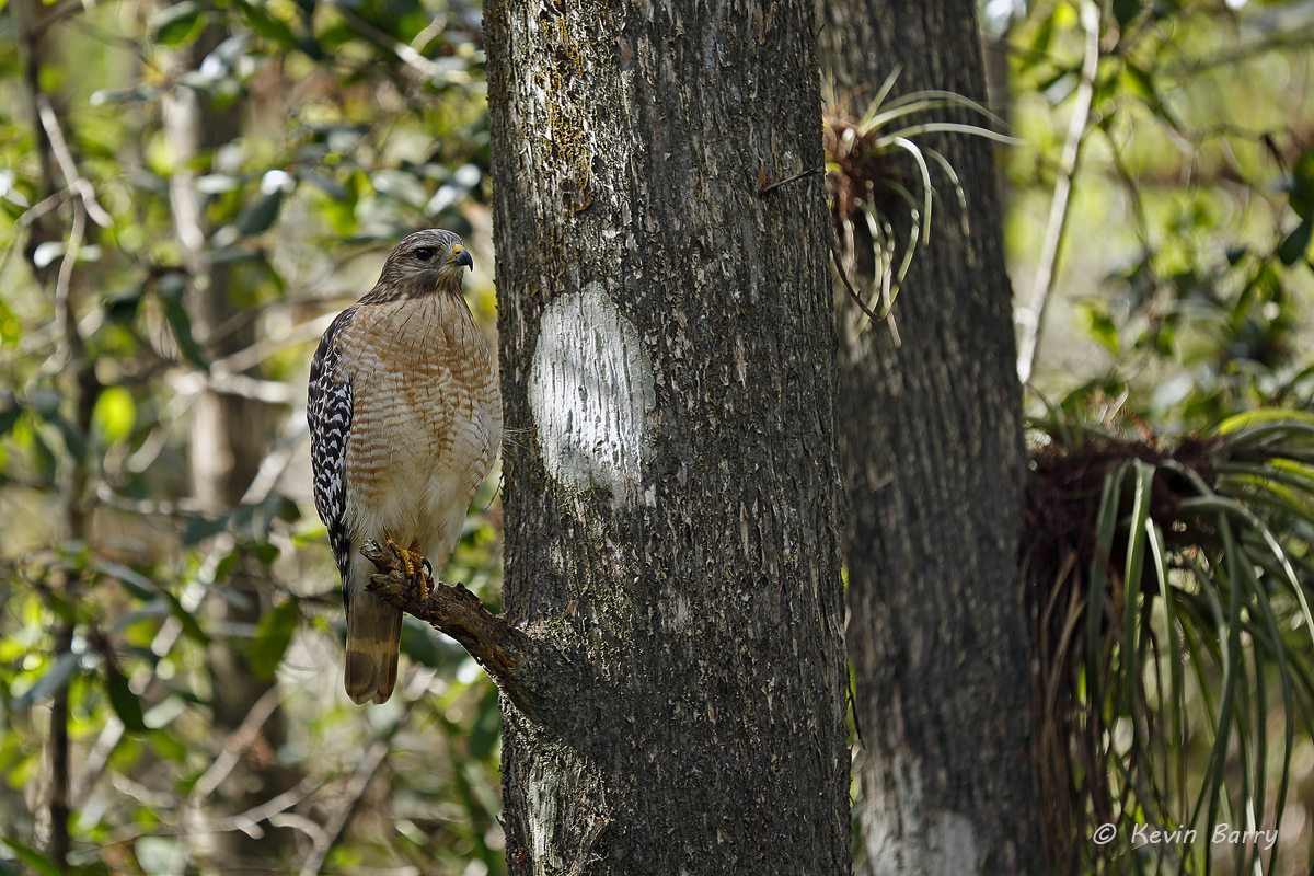 Red-shouldered Hawk, Fakahatchee Strand Preserve State Park, Collier County, Florida, photo