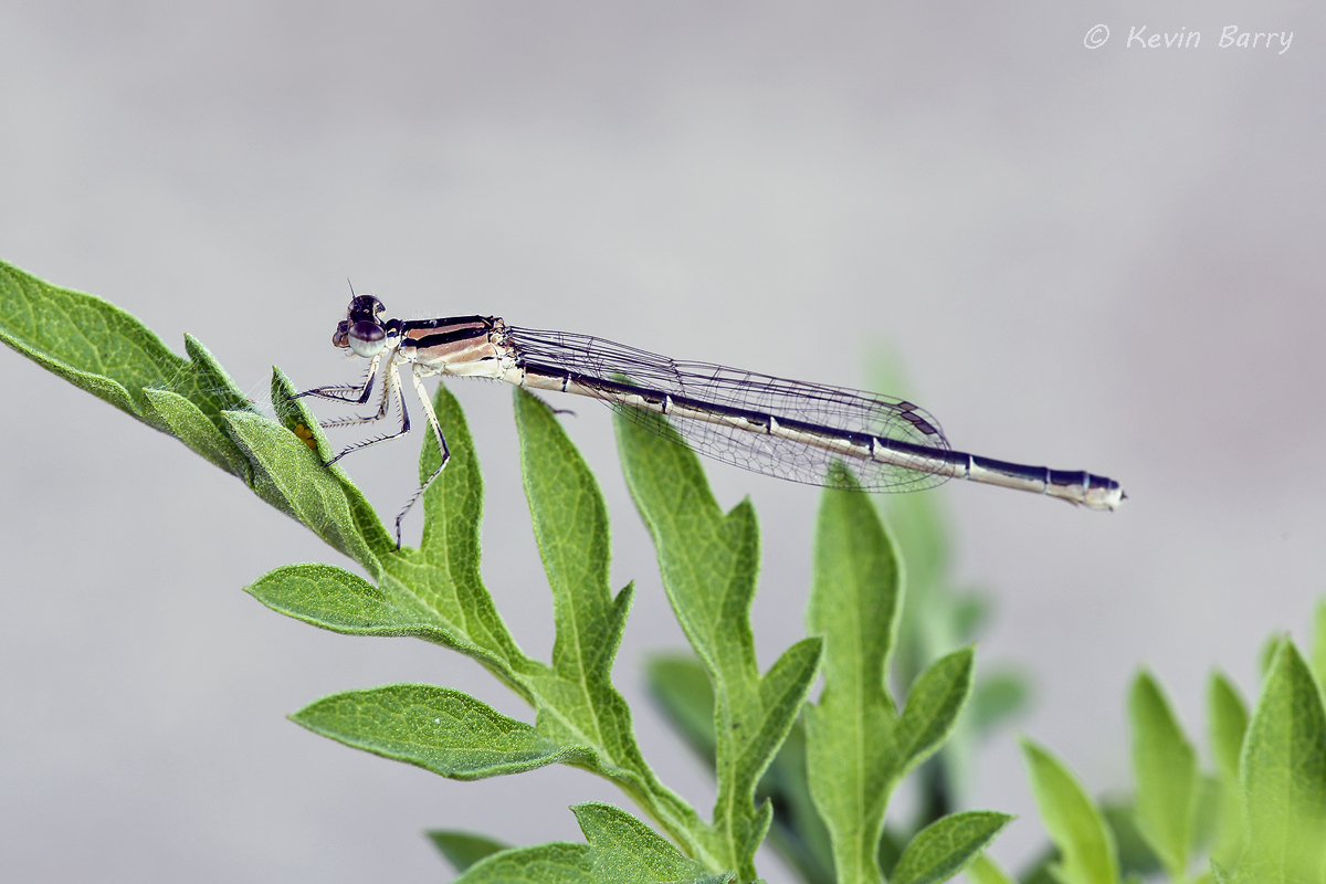 Damselfly, Yamato Scrub Natural Area, Boca Raton, Florida, nature photography, native, natural, small, insect, morning, day...