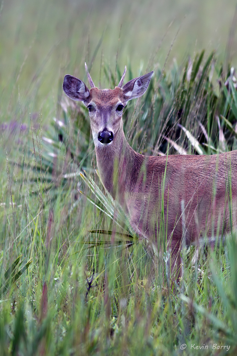 White-tailed deer, Kissimmee Prairie Preserve State Park, Okeechobee, Florida, photo