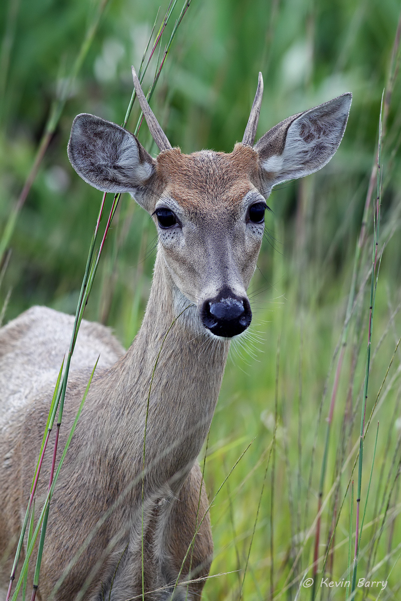 White-tailed deer, Kissimmee Prairie Preserve State Park, Florida, photo