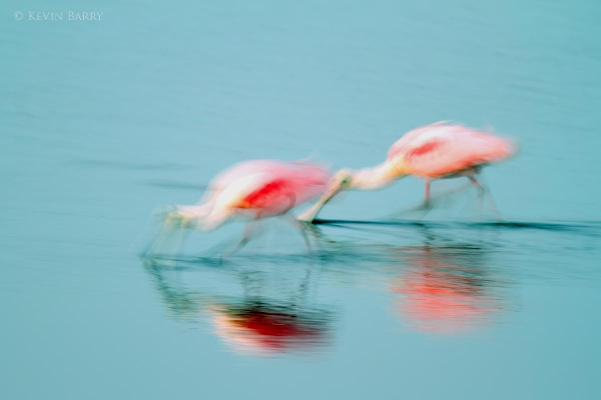 Cotton Candy, Merritt Island National Wildlife Refuge, Florida, photo
