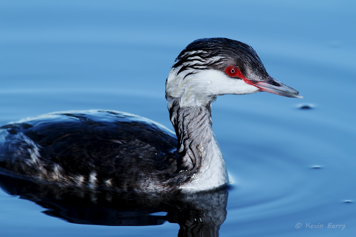 The Horned Grebe (Podiceps auritus) is a relatively small waterbird in the Family Podicipedidae.
