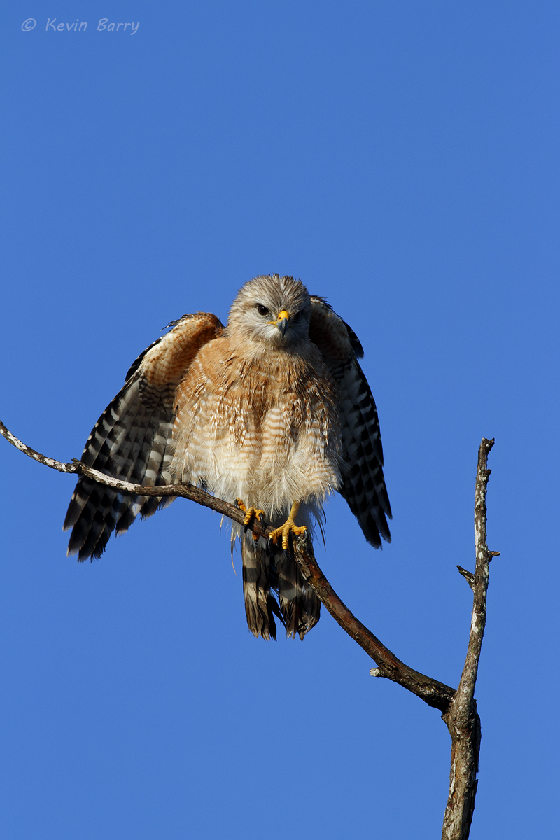The most commonly seen species of hawk in Florida's everglades, a Red-shouldered Hawk (Buteo lineatus) searches for his next...