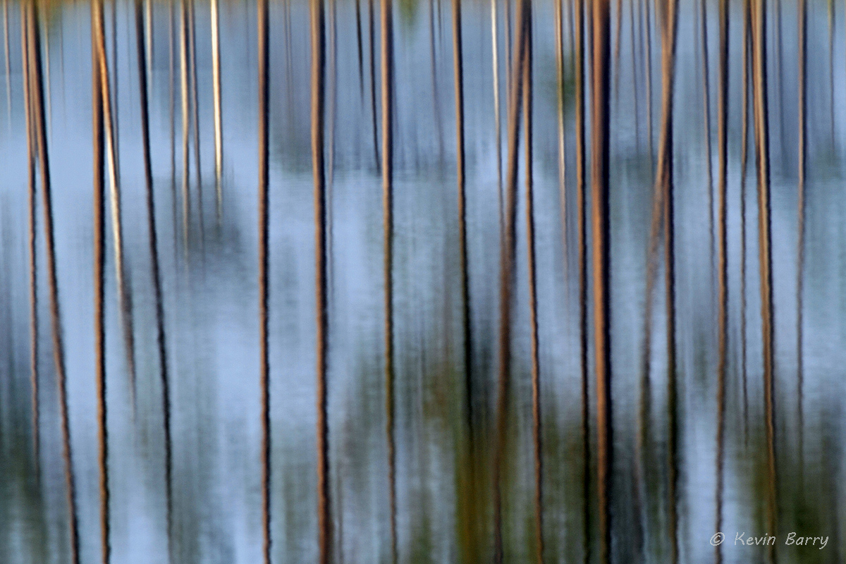 Pine tree reflections, Polk County, Florida, horizontal, flora, vegetation, blue, lake, morning, south, southern, America, USA...