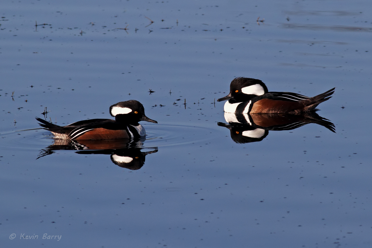 The Hooded Merganser (Lophodytes cucullatus) is a species of small duck. The bird is striking in appearance; both sexes have...