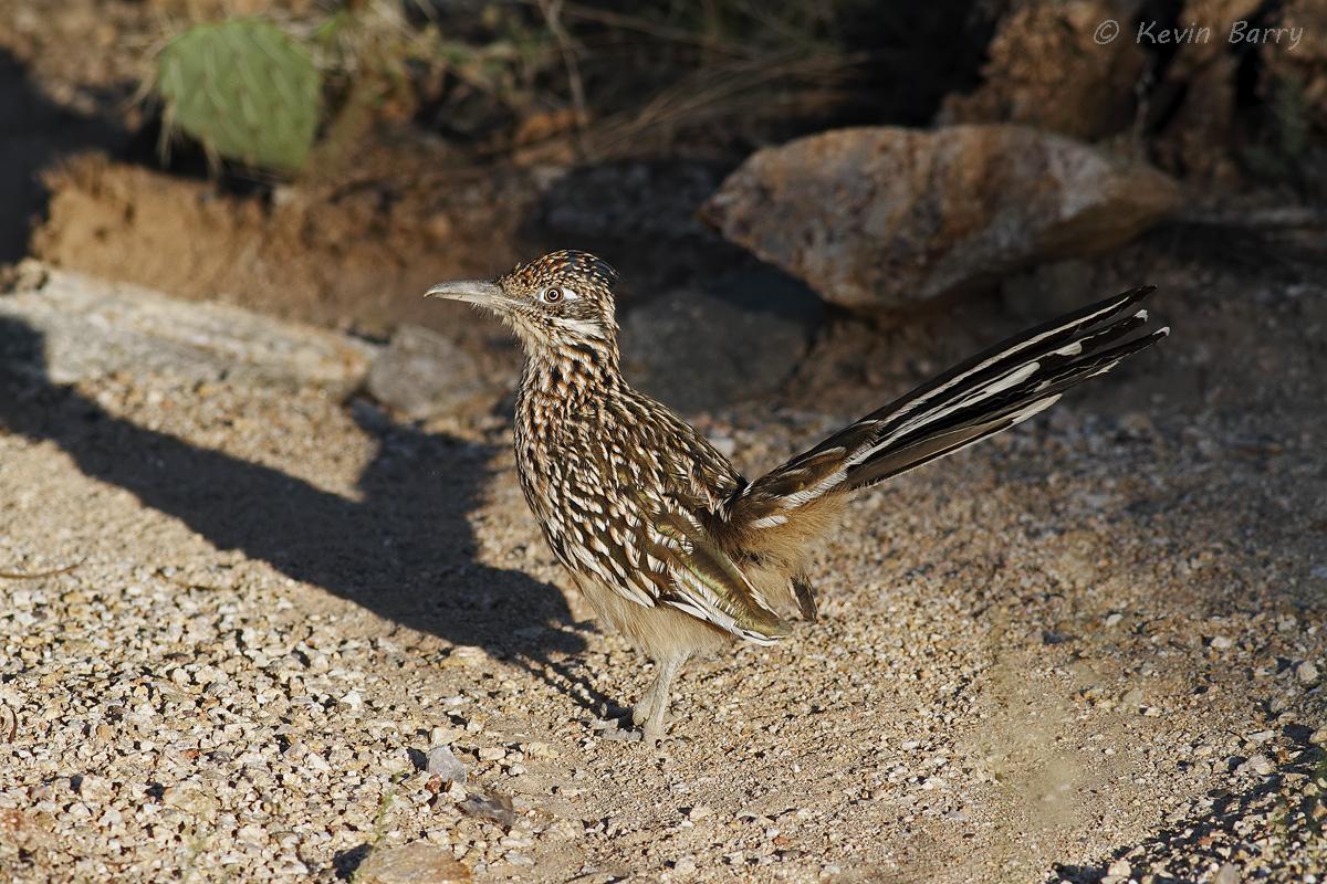 (Geococcyx californianus)