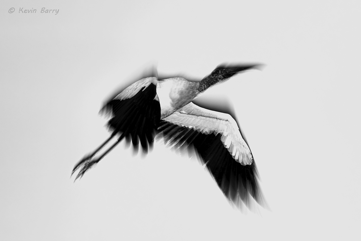 The Wood Stork (Mycteria americana) is a large wading bird in the stork family Ciconiidae. It is found in subtropical and tropical...