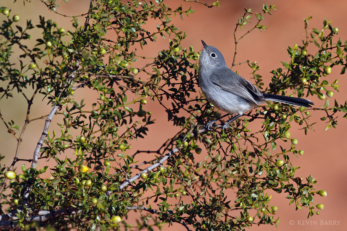 Black-tailed Gnatcatcher, Valley of Fire State Park, Nevada, photo