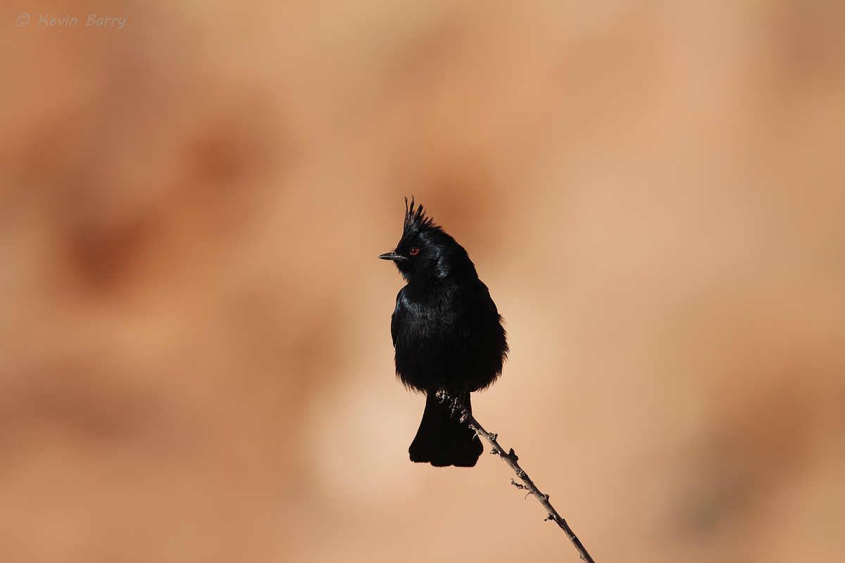 Phainopepla, Valley of Fire State Park, Nevada, nitens, photo