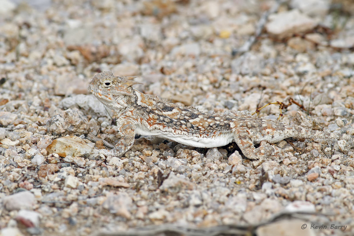A Southern Desert Horned Lizard (Phrynosoma platyrhinos calidiarum) is nearly invisible in his natural habitat.