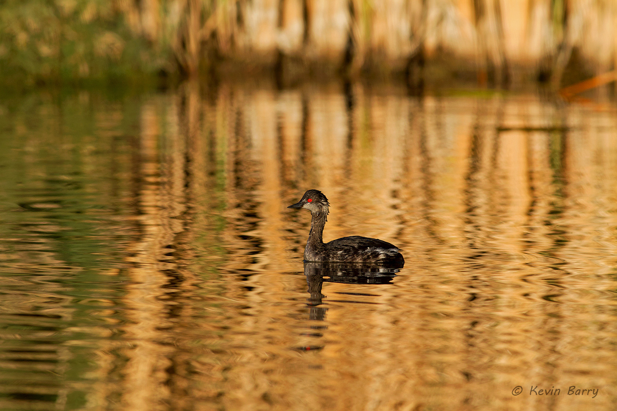 Eared Grebe, The Salton Sea, Imperial County, California, photo