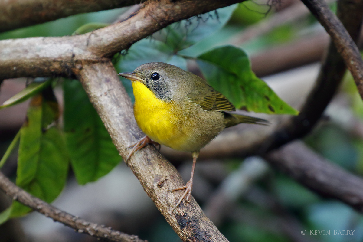 Common Yellowthroat, Greynolds Park, North Miami, Florida, photo