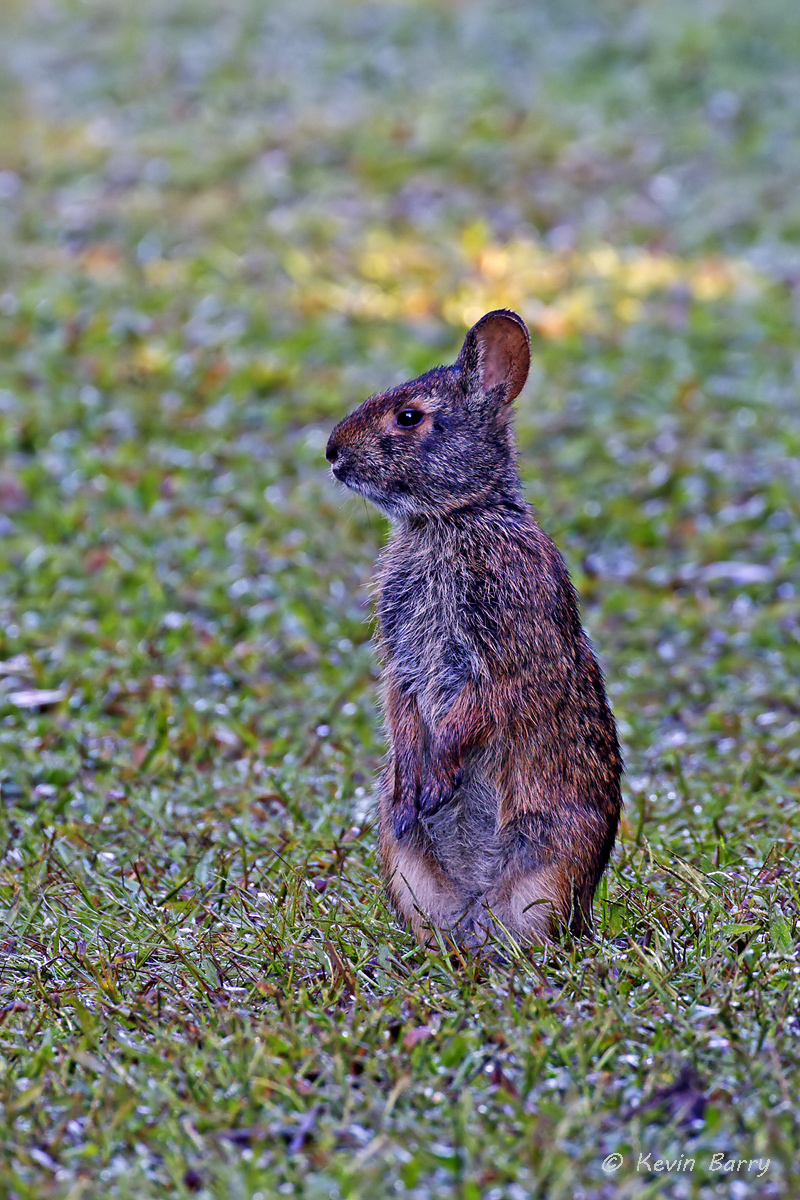 Seeing this Marsh Rabbit (Sylvilagus palustris) standing was a first for me.