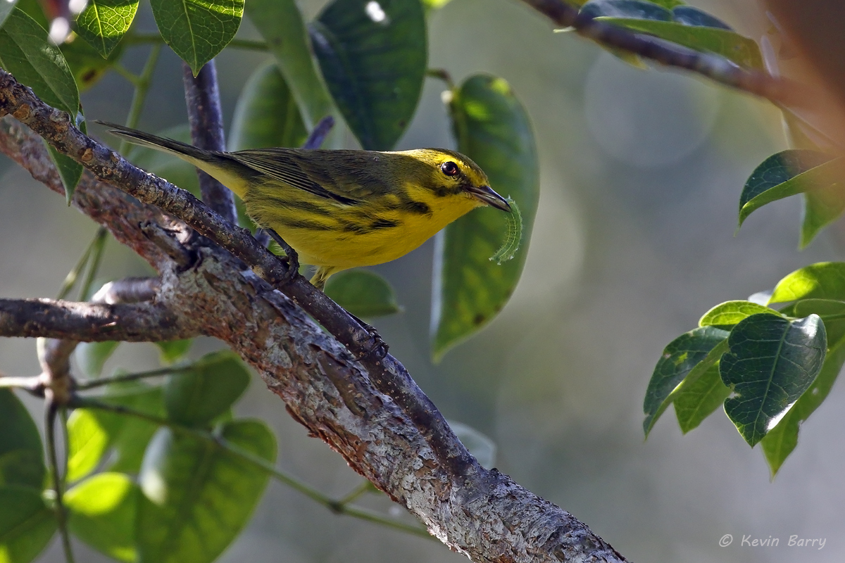 Prairie Warbler with caterpillar, Chapel Trail Nature Preserve, Broward County, Florida, photo