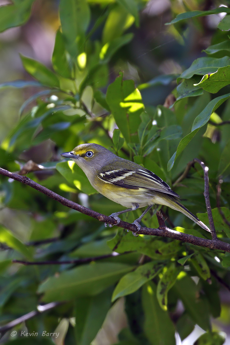 The White-eyed Vireo (Vireo griseus) is a small song bird that breeds in the southeast US from New Jersey west to northern Missouri...