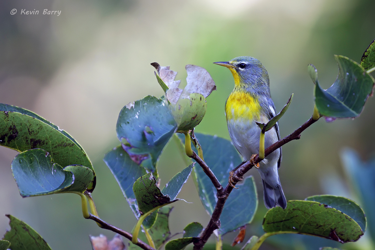 Northern Parula, Highland Oaks Park; Miami-Dade County, Florida, photo