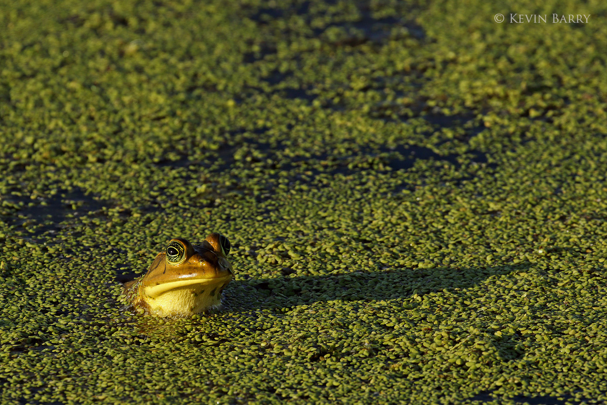 A Pig Frog (Lithobates grylio) surveys his surroundings in the created habitat of The Orlando Wetlands, located in Christmas...