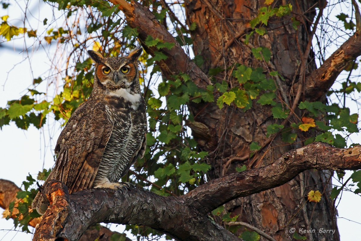 Great Horned Owl, Tall Cypress Natural Area, Coral Springs, Florida, photo