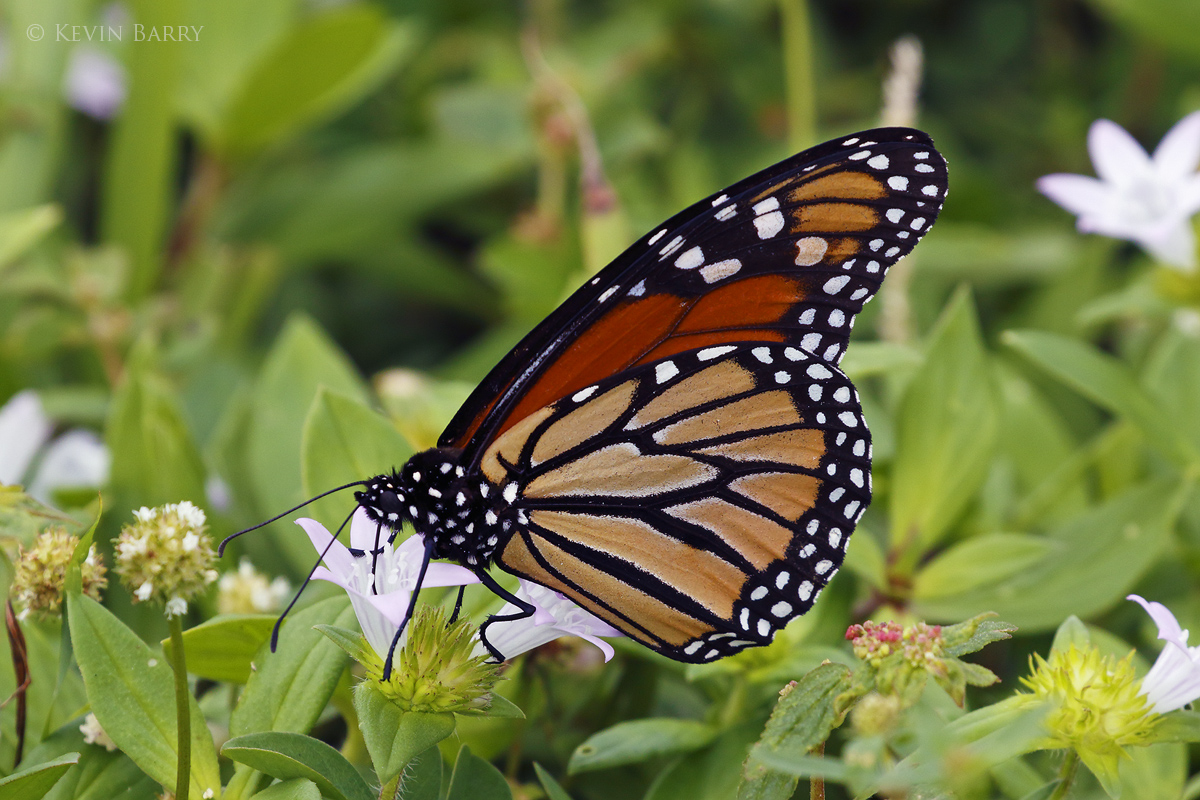The Monarch (Danaus plexippus) is probably the most familiar North American butterfly. The eastern North American population...