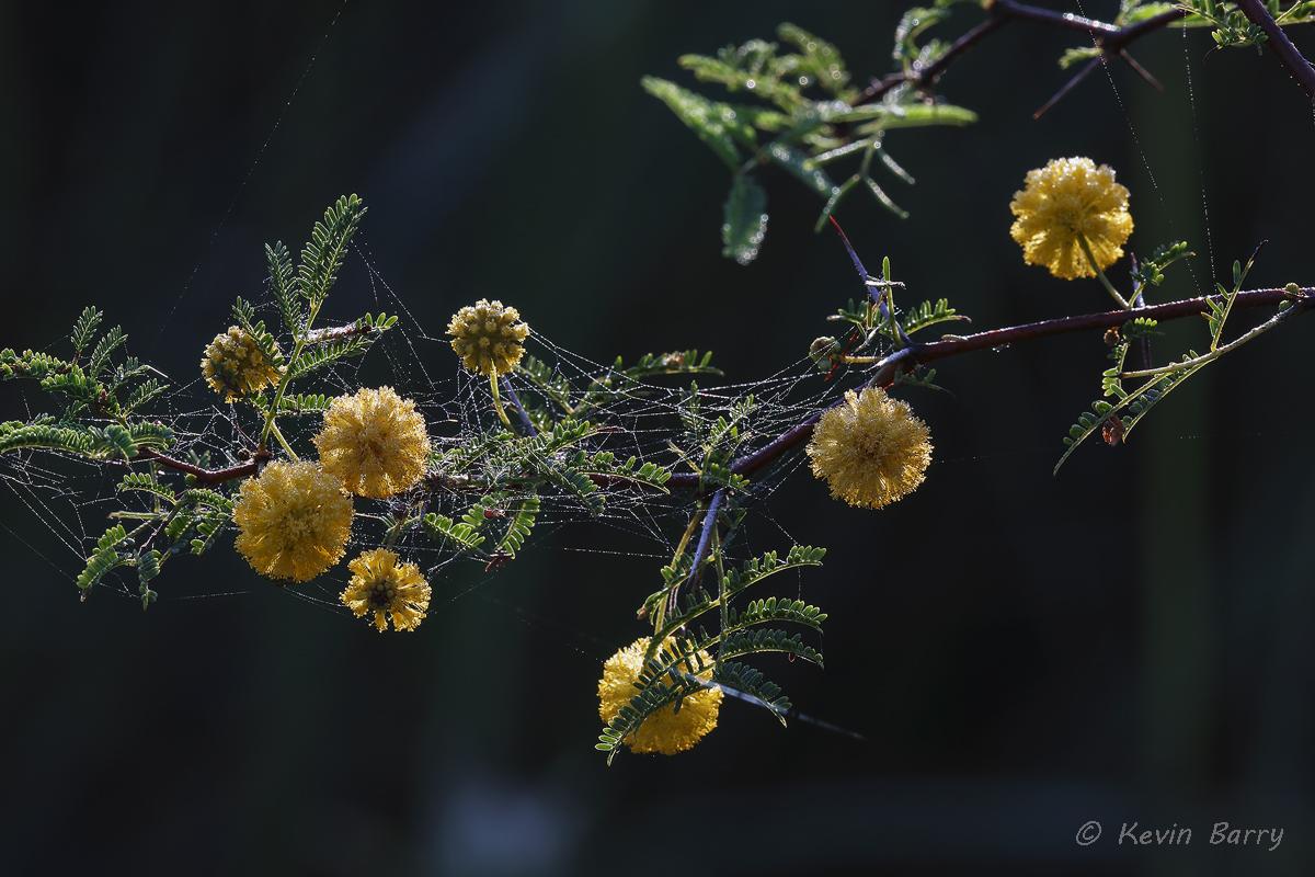 (Acacia pinetorum)