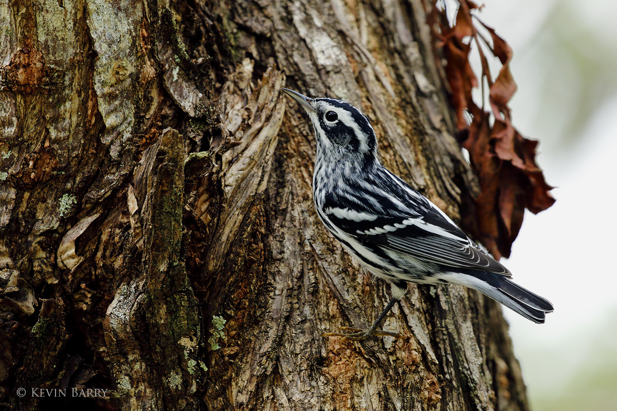 Black and White Warbler, North Miami, Florida, photo