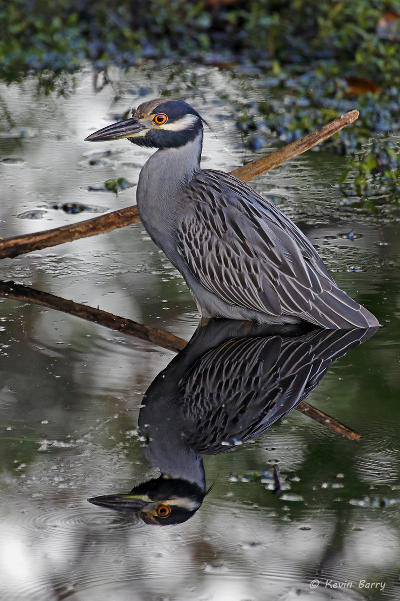 Yellow-crowned Night Heron, Highland Oaks Park, Miami-Dade County, Florida, photo
